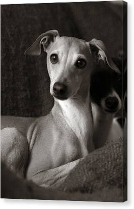 Say What Italian Greyhound Canvas Print by Angela Rath