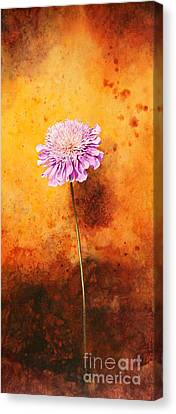 Scabious Canvas Print by John Francis