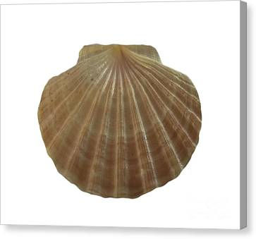 Scallop Shell Canvas Print by Judy Hall-Folde