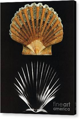 Scallop Shell X-ray Canvas Print by Photo Researchers