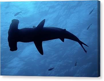 Scalloped Hammerhead Shark Underwater View Canvas Print by Sami Sarkis