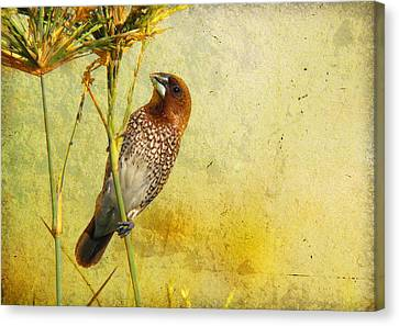 Scaly-breasted Munia Canvas Print by Perry Van Munster