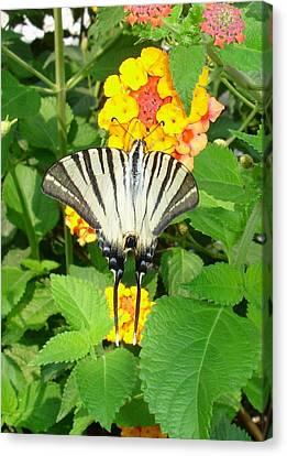 Butterfly Blue Pincushion Flower Canvas Print - Scarce Swallowtail Feeding On Lantana by Tracey Harrington-Simpson