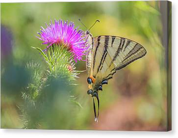Scarce Swallowtail - Iphiclides Podalirius Canvas Print