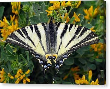 Butterfly Blue Pincushion Flower Canvas Print - Scarce Swallowtail Iphiclides Podalirius by Tracey Harrington-Simpson