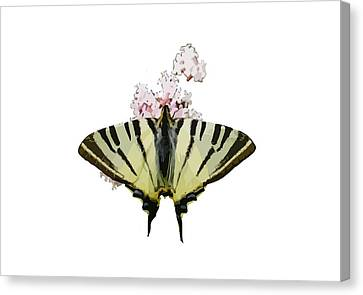Butterfly Blue Pincushion Flower Canvas Print - Scarce Swallowtail On Wild Garlic Flowers Vector Isolated by Tracey Harrington-Simpson