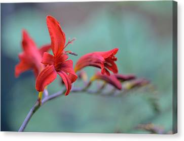 Scarlet Blooms Canvas Print