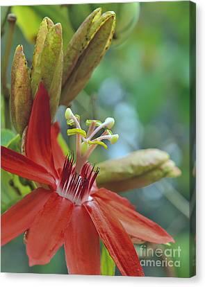 Scarlet Flame Passiflora  Canvas Print by Olga Hamilton