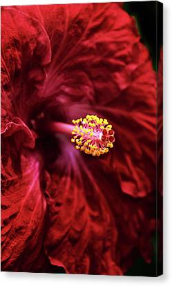 Hibiscus Canvas Print - Scarlet Hibiscus by Jessica Jenney