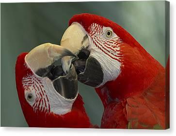 Scarlet Macaw Ara Macao Pair Kissing Canvas Print