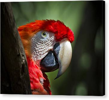 Scarlet Macaw Canvas Print by Roger Wedegis