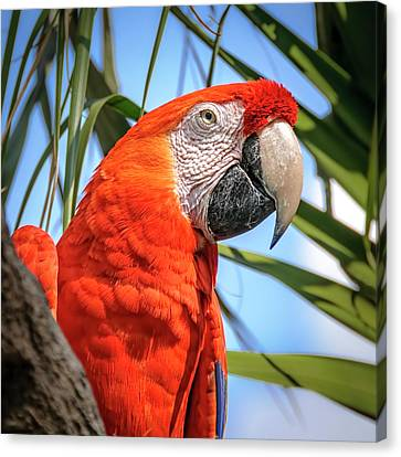 Canvas Print featuring the photograph Scarlet Macaw by Steven Sparks