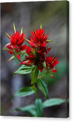 Scarlet Red Indian Paintbrush Canvas Print by Karon Melillo DeVega