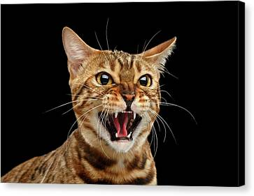 Scary Hissing Bengal Cat On Black Background Canvas Print by Sergey Taran