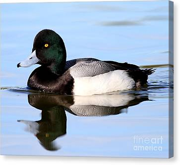 Bif Canvas Print - Scaup Duck . 7d4955 by Wingsdomain Art and Photography