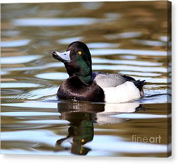 Bif Canvas Print - Scaup Duck by Wingsdomain Art and Photography