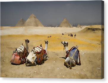 Scenic View Of The Giza Pyramids With Sitting Camels Canvas Print by David Smith