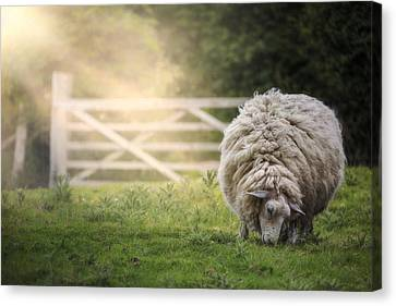 Sheep Canvas Print by Joana Kruse