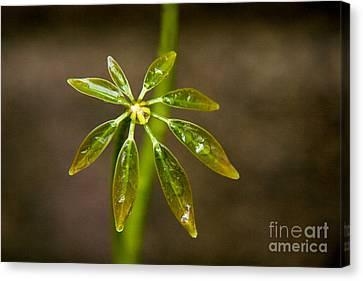 Schefflera Plant Leaves Canvas Print