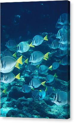 School Of Surgeonfish Cruising Reef Canvas Print by James Forte