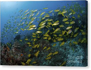 School Of Yellow Snapper, Great Barrier Canvas Print by Mathieu Meur