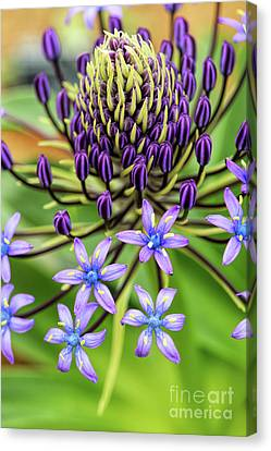 Anther Canvas Print - Scilla Hughii  by Tim Gainey