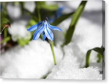 Scilla In Snow Canvas Print by Jeff Severson