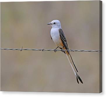 Scissor-tailed Flycatcher Canvas Print by Tony Beck