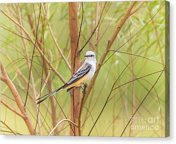 Canvas Print featuring the photograph Scissortail In Scrub by Robert Frederick