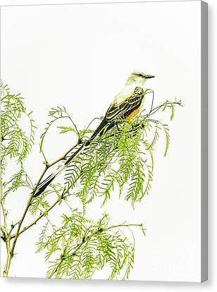 Canvas Print featuring the photograph Scissortail On Mesquite by Robert Frederick