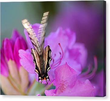 Canvas Print featuring the photograph Scissorwings by Susan Capuano