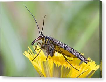 Scorpionfly Canvas Print by Andre Goncalves