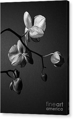 Scotopic Vision 3 - Orchid Canvas Print by Pete Hellmann