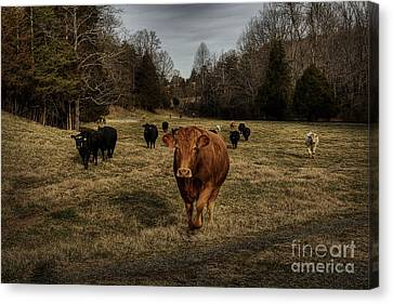 Scotopic Vision 9 - Cows Come Home Canvas Print by Pete Hellmann