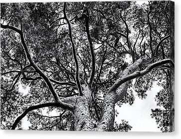 Scots Pine Monochrome Canvas Print by Tim Gainey