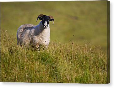 Scottish Blackface Sheep On Green Field Canvas Print by Gabor Pozsgai