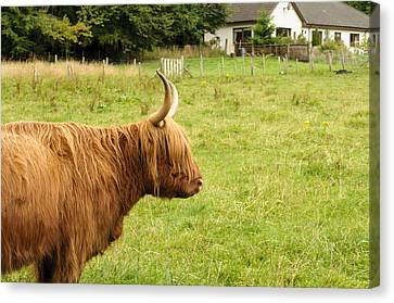 Canvas Print featuring the photograph Scottish Cattle Farm by Christi Kraft