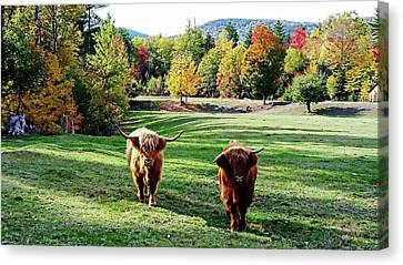 Canvas Print featuring the photograph Scottish Highland Cattle - New Hampshire Fall Foliage by Joseph Hendrix