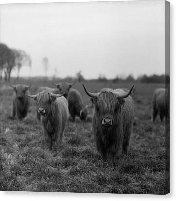 Scottish Highland Cattle On Field Canvas Print by Stephan Ohlsen