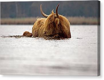 Scottish Highlander With Young To Swim Canvas Print by Ronald Jansen