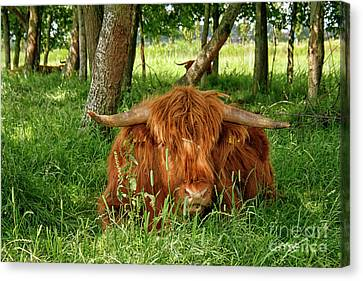 Canvas Print featuring the photograph Scottish Higland Cow by Patricia Hofmeester