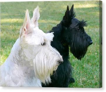 Scottish Terrier Dogs Canvas Print by Jennie Marie Schell