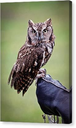 Screech Owl Perched Canvas Print by Athena Mckinzie
