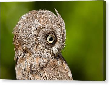Screech Owl Portrait Canvas Print by Roeselien Raimond