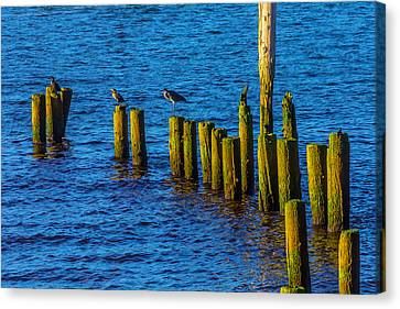 Sea Birds On Old Pier Posts Canvas Print by Garry Gay