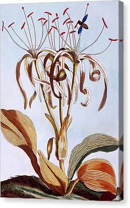Sea Daffodil Canvas Print by Pierre-Joseph Buchoz