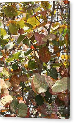 Sea Grapes On Sanibel Canvas Print by Carol Groenen