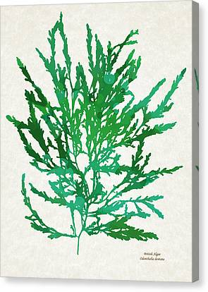 Sea Green Seaweed Art Odonthalia Dentata Canvas Print by Christina Rollo