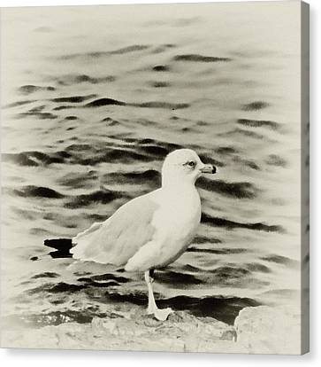 Sea Gull In Sepia Canvas Print by Tony Grider