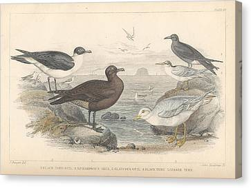 Seagull Canvas Print - Sea Gulls by Dreyer Wildlife Print Collections